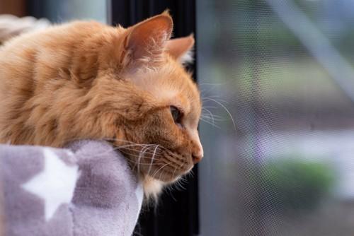 窓の外を見る長毛の茶色い猫