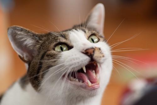 鳴いている猫