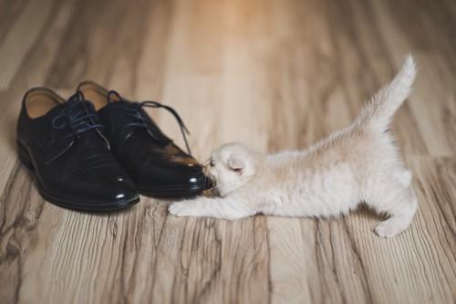 紐履の先を齧る子猫