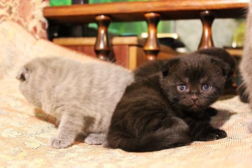 ソファーに乗っているブリティッシュショートヘアの子猫たち