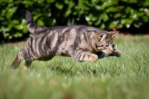 狩りをする猫