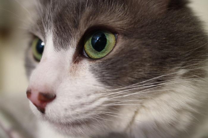 灰色の猫のアップ