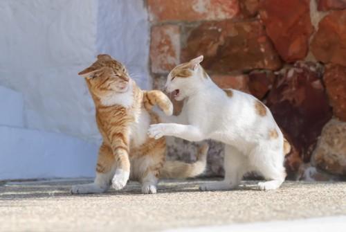 イカ耳で争う猫2匹