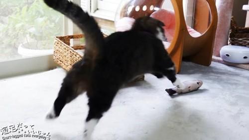 おもちゃに飛びかかる猫