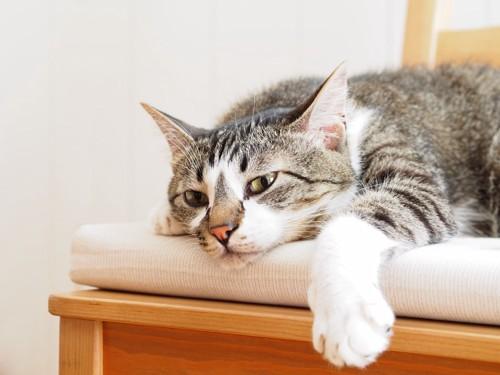 椅子の上でぐったりする猫
