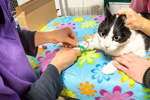 病院で血液を採られるハチワレ猫