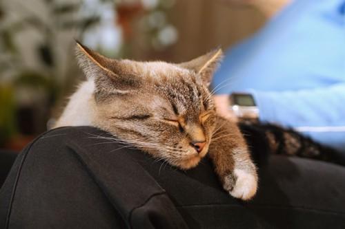 膝の上で眠っている猫