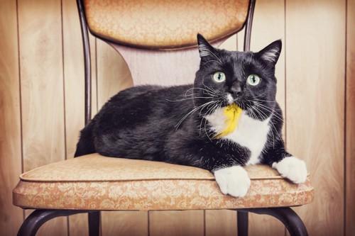 鳥の羽のおもちゃをくわえる猫