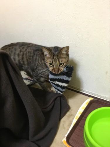 おもちゃをくわえて運ぶ猫
