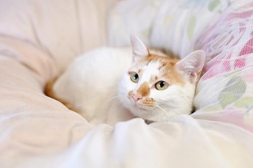 布団の上で見上げる猫