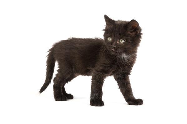 うっすら縞のある黒猫の子猫