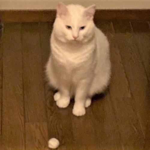 自分の毛で作ったボールを持ってくる猫