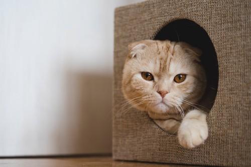 猫用ハウスから顔を出すスコティッシュフォールド