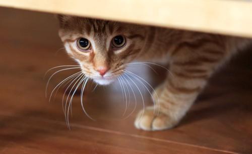 家具の下から上目遣いでこちらを覗う猫