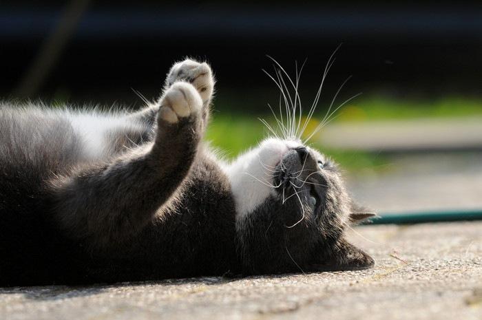 仰向けに寝転がった猫