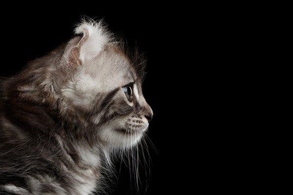 アメリカンカールの子猫横顔