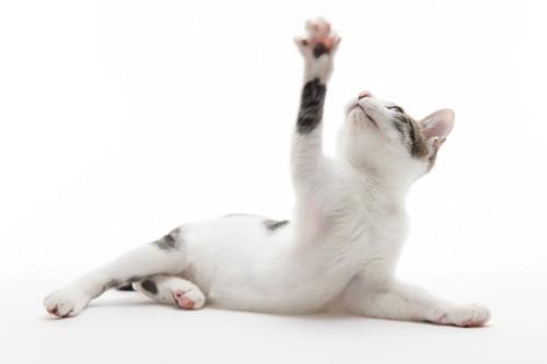 上の手を伸ばすお腹が白い猫