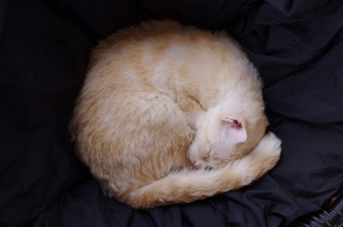 アンモナイト猫