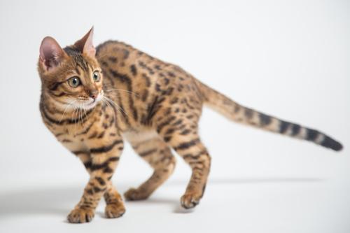 見つめるベンガル猫