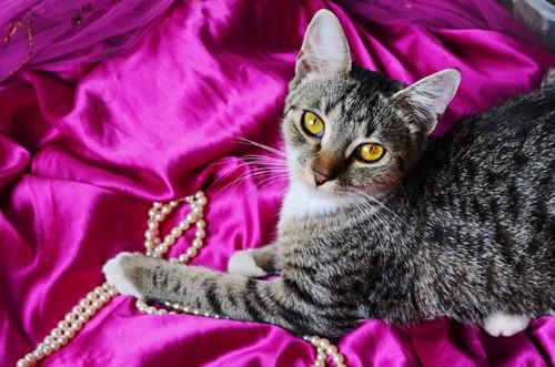 赤紫のサテン生地の上にいる猫