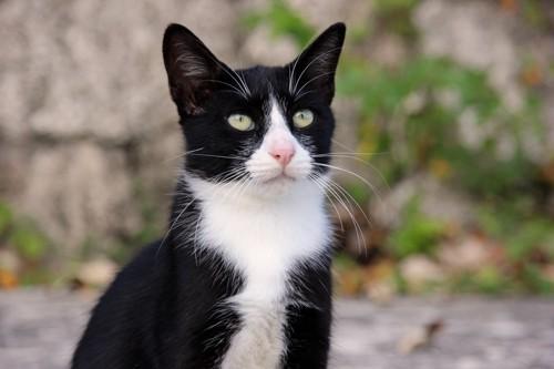 ハチワレのぼぶち猫