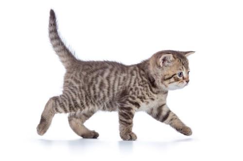 しっぽを立てている子猫