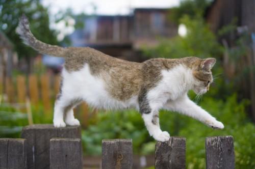 木のフェンスの上を歩く猫