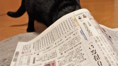 新聞の下に入る猫