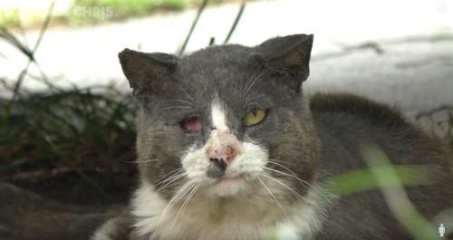 目が潰れアゴが腫れている猫