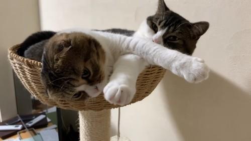 腕がクロスする2匹の猫