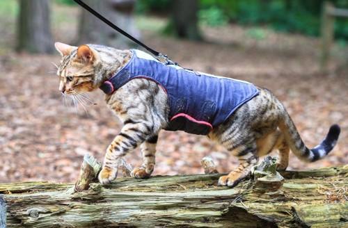 ハーネスをつけて散歩をする猫
