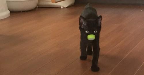 ペットボトルの蓋をくわえてきた黒猫