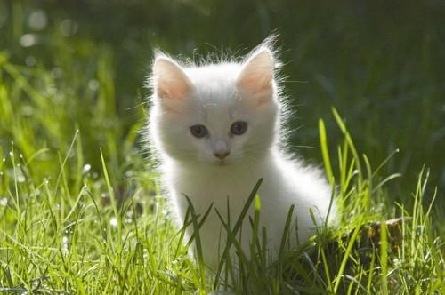 白いノルウェージャンをレストキャットの子猫