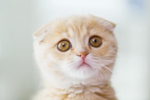 こちらを見つめる子猫の顔アップ