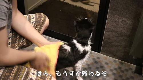 タオルドライされている猫