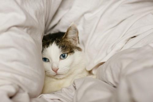 綿の布団にくるまる猫