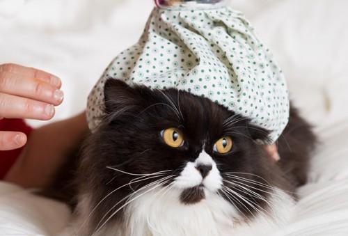 氷枕を乗っける猫