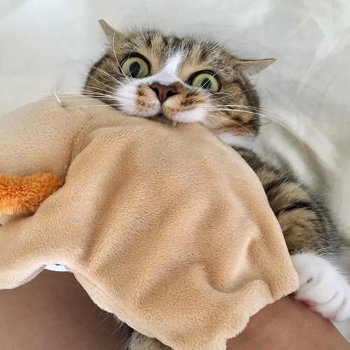 毛布に噛み付いている猫
