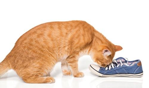 スニーカーの匂いを嗅ぐ猫