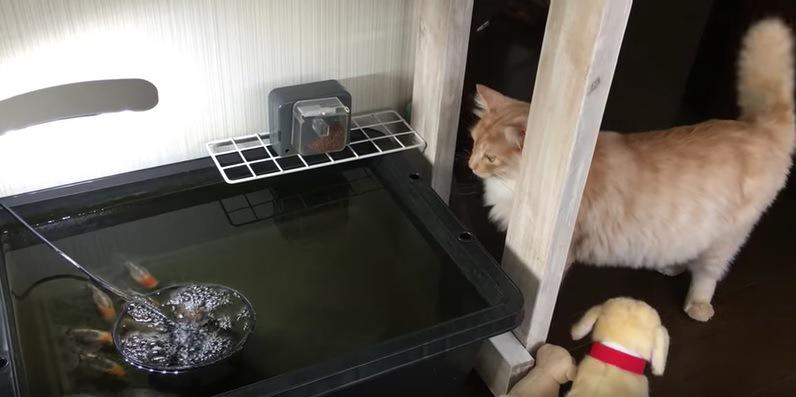 金魚の水槽に近づく猫