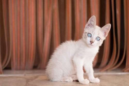 耳が立っている青い目の子猫