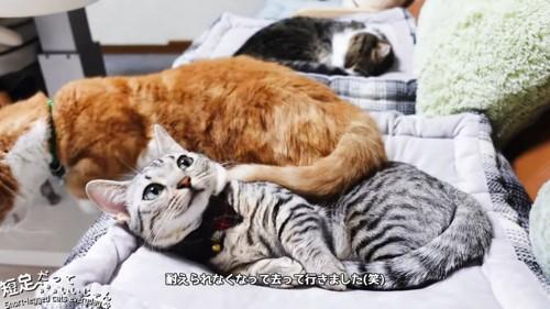 クッションから下りる茶色の猫