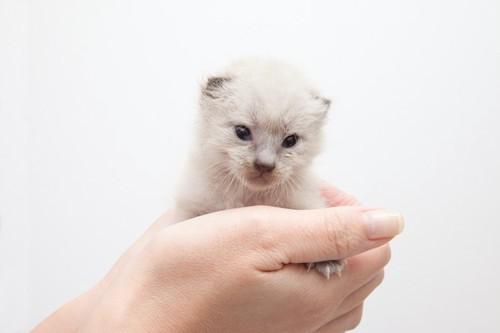 人の手のひらに乗った子猫