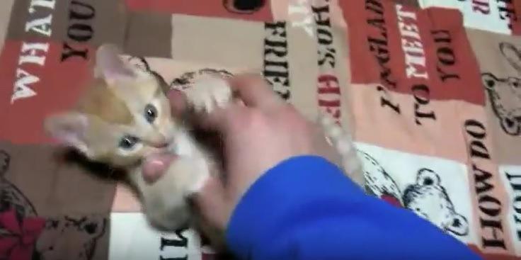 飼い主の手にじゃれる子猫