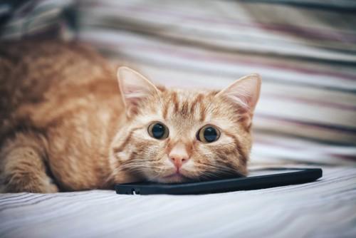 スマホに顎乗せする猫