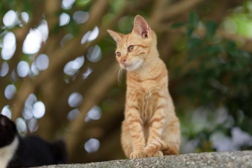 塀の上に座って見下ろす茶トラの子猫