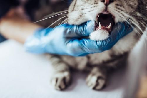 病院で口を診察される猫