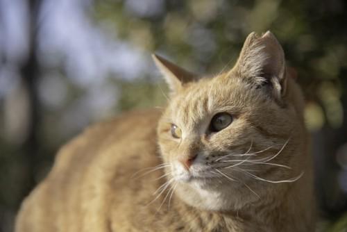 日なたぼっこをしているかわいい茶トラの地域猫・さくらねこ