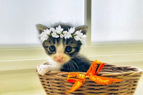 花冠を被る子猫
