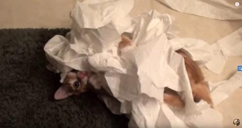 トイレットペーパーにくるまった猫